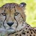 Close cheetah!