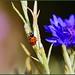 Asian Variety Ladybug