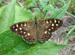 Photo of Pararge aegeria (Speckled Wood, male)