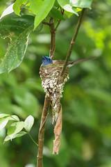 Blauer Monarch