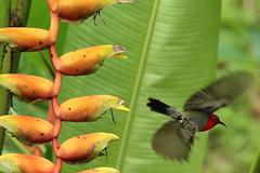 Grimson sunbird