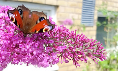Peacock butterfly, Inachis io, Påfågelöga