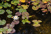 Waterlily - Woodvale (07)