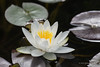 Waterlily - Woodvale (33)