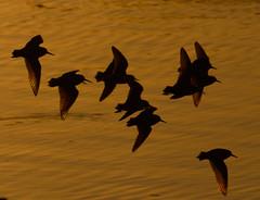 Rainbow Shorebirds 4635