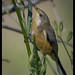 Eastern Spinebill: Early Morning Feed