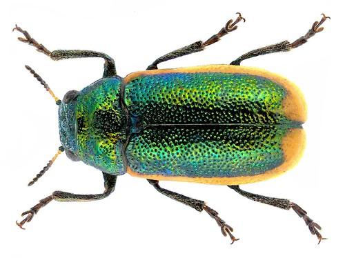 Coptocephala limbata (Fabricus, 1775)