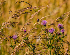 Photo of Grasses & Thistles