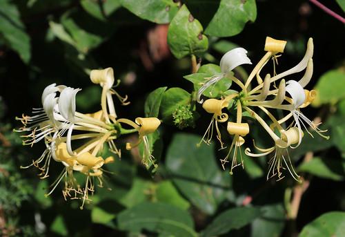 Common Honeysuckle