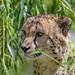 Cheetah among the leaves