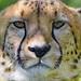 Serious and close cheetah looking at me