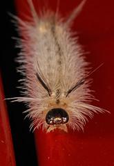 224/366 Banded Tussock Moth - Halysidota tessellaris, Prince William Forest Park, Triangle, Virginia