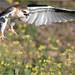 Black-shouldered Kite: Clear for Landing