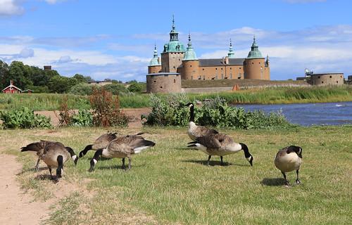 Canada Geese at Kalmar Castle