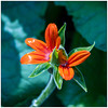 Mexican Sunflower 1