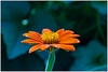 Mexican Sunflower 2