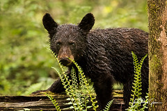 """Curlicue"" A black bear cub in Cades Cove Tennessee in the Great Smoky Mountains National Park 