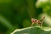 Sunlit Bush Cricket