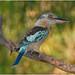 Blue Winged Kookaburra (Dacelo leachii) (male), Nitmiluk National Park, Northern Territory, Australia