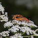 Multitasking common red soldier beetles on wild carrot