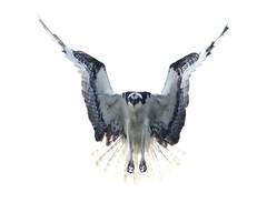 Osprey in the sun 4742