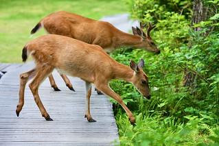 Copy of Wildlife - Sitka Black-tailed Deer - Buck and Doe Eat off Boardwalk