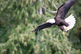 Copy of Wildlife - Eagle in Flight