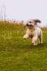 Dog at St Andrews