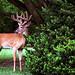 """Cincinnati - Spring Grove Cemetery & Arboretum """"Cautious Buck"""""""
