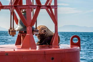 Copy of Wildlife - Lone Seal on Buoy