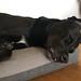 Schwarzer Labrador schläft auf seinem Hundebett und streckt die Zunge heraus