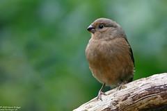 Photo of Bullfinch, Pyrrhula pyrrhula