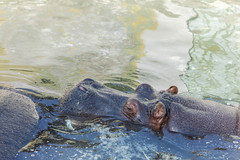 Hippo swimming in the water in the Belgrade Zoo