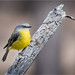 Eastern Yellow Robin: Environmental Portrait