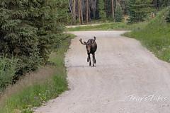 Moose chases off mule deer - 7 of 8