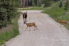 Moose chases off mule deer - 2 of 8