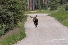 Moose chases off mule deer - 8 of 8