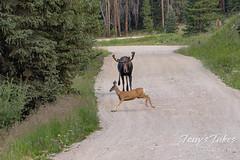 Moose chases off mule deer - 5 of 8