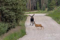 Moose chases off mule deer - 4 of 8