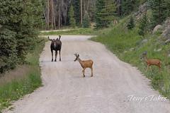 Moose chases off mule deer - 1 of 8