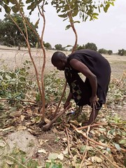 A farmer from Keur socé village in Kaolack region thinning Combretum glutinosum tree on his FMNR farm. Photo Gorgui Sene, animator Keur Socé commune