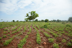 The groundnut and cashew farm of one of the FMNR farmers, David
