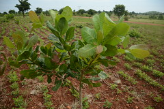 The groundnut and cashew farm of one of the FMNR farmers, David 2