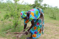A farmer collecting firewood from her FMNR field. Photo Joseph Bidiar
