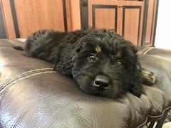 Arlo is a Josie & Fonzie puppy