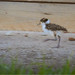 Masked Lapwing: Speeding By