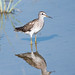 Wood Sandpiper Reflection