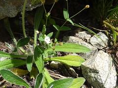 Anglų lietuvių žodynas. Žodis pilosella officinarum reiškia <li>pilosella officinarum</li> lietuviškai.
