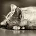 Heureux  et paisible comme le chat qui dort...