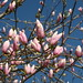 magnolias_magnolii (6)